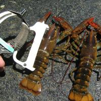 Small lobsters